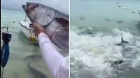 【嗅君葩闻】疯狂鱼群!男子投喂金枪鱼引鲹鱼群抢食 第十季59