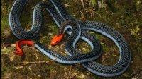 嗅怪自然:东南亚最神秘的毒蛇 蓝长腺珊瑚蛇