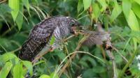 神奇大自然鸟类奇观第2集《金佛山精品鸟类大合集》下集 多种鸟叫声