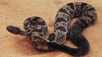 实拍:银环蛇大战响尾蛇,惨遭活吞!