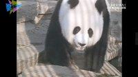 明明是食肉动物,却只吃竹子