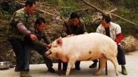 笑哪样?五六个人杀年猪从场坝跑到田里去了