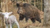 獵奇 第一百三十五集 阿根廷丛林冒险——追猎专吃绵羊的大野猪