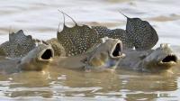 鱼类中的天才 可长时间不在水里度过 可以跳一米多远 你吃过吗?