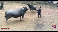 贵州乡村斗牛