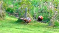 农村野生野鸡真多, 成群结队的在田里找吃的, 无视人的存在