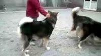 阿拉斯加雪橇犬斗高加索
