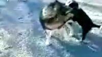 阿拉斯加雪橇犬安吉拉与边境牧羊犬