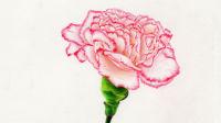 康乃馨—花枝刻画与整体调整7