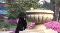 【萌犬仁球】哪种狗狗会为了球不要命?