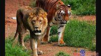 东北虎和狮子对比