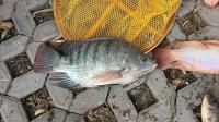 和龙水库钓大鱼(上、下集)渔获展示(钓获泰国鲮鱼, 罗非鱼, 珍珠立等鱼种。)