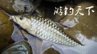 山间清澈溪流,钓获马来西亚吉罗鱼