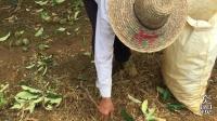 板栗采摘季节, 收购价3块5一斤, 大家觉得合适种吗?