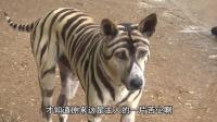 看见一只被画成老虎的狗狗 以为主人虐待它 缘由让人感叹!