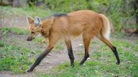 犬科中的大长腿 自带黑丝如同踩着高跷 遇危险时能扩大身体