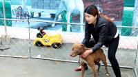 山东31岁女农民, 创业养殖了猛犬场, 教网友如何挑选狗