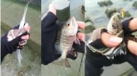 河口路亚各种鱼, 海南南渡江海口路亚花身鸡鱼(茂公鱼), 红友, 银针