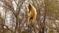 合肥野生动物园《长臂猿》_雁飞晨光