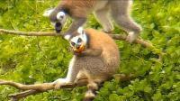 合肥野生动物园《环尾狐猴》_雁飞晨光