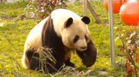 合肥野生动物园《大熊猫》_雁飞晨光