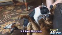搞笑四川话创意配音: 动物成精讲四川话, 肚儿都笑痛!