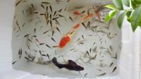 大锦鲤和小鱼们