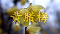 合肥紫蓬山,梅园写生第一篇《黄腊梅》_雁飞晨光
