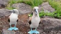 喜欢炫耀自己的蓝脚, 蓝脚鲣鸟展开翅膀表演舞蹈,样子萌萌的!