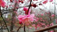 合肥紫蓬山梅园《随笔》雁飞晨光