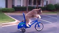 这只牧羊犬诺曼有着不同凡响的绝技 玩脚踏车滑板样样精通