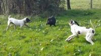 一头凶猛的野猪误入农户,两只狗狗都奈它不何