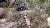 猎狗在草丛里低头直嗅,尾巴直摇,以我专业的眼光看,一定有货!