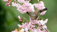 盛开的樱花好美啊,漂亮的小鸟栗耳凤鹛,绿翅短脚鹎吃花蜜