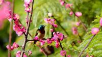 红梅盛开鸟语花香,太阳鸟公鸟和母鸟吃花蜜,好漂亮啊