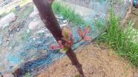双季红树莓生长纪录2