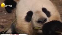 """柏林动物园为旅德大熊猫""""娇庆""""和""""梦梦""""做媒"""