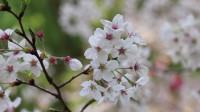 【音乐短片】樱花飘落的夜晚