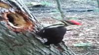 不怕脑震荡?啄木鸟电钻式啃树 根本停不下来