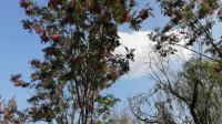春末形同公园--红槐花开了