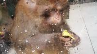 这猴子的吃相太奇葩了
