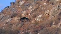 山高坡陡,怪石嶙峋,几只狗狗通力协作,很快发现目标!
