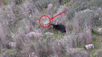 一只猎狗盯住草丛一动不动,而后突然出击,其它两只迅速响应!