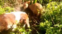 两条狗狗发现一个土洞,不停刨土,狂叫不止,不知里面有什么