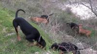 6只猎狗一起进入山林,还有什么能藏得住?
