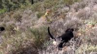黑狗率先发现目标,其它狗狗也反应神速,立即加入追逐行列