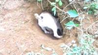 狗狗发现一个神秘土洞,不要命的往里猛撞,不知里面藏了什么!