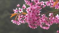 【音乐短片】樱花-纯音乐