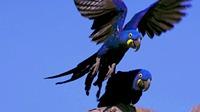 1.巴西的鸟,不只会飞哦!