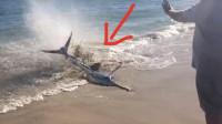 """罕见:男子发现一搁浅的""""大鱼"""",想救它却不敢靠近,视频记录紧张全程!"""